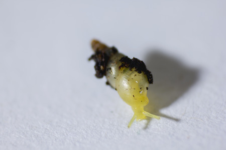 A very small snail with a yellow shell. Banco de Imagens