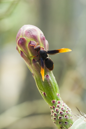 Vespula germanica is on the flowers. Banque d'images