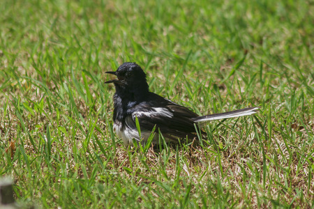 Copsychus is on green outdoor lawn.