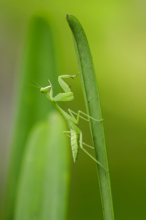 Mantodea is on a green leaf Stock Photo