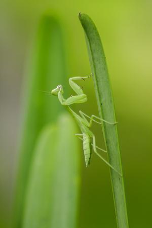 Mantodea is on a green leaf Archivio Fotografico