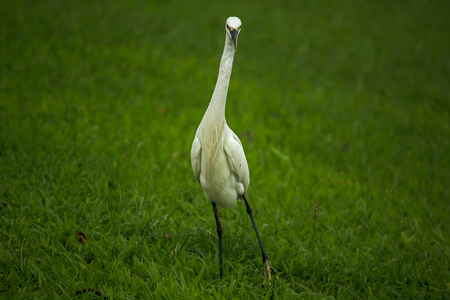 White Egret is walking on the lawn.