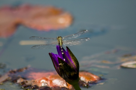 Dragonfly on the purple lotus flower