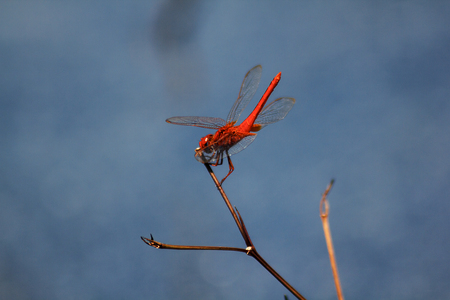 Red dragonfly on dry branches Stock Photo