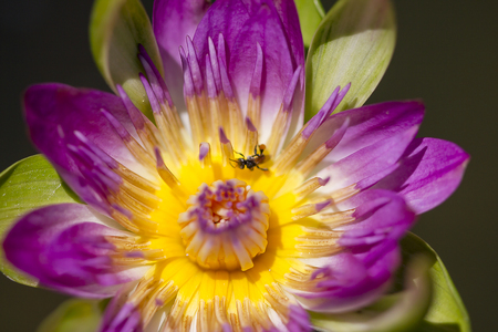 The bee is on the pollen of the purple lotus.