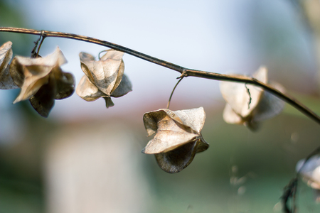 Physalis angulata is dry, another type of Thai herb that is found along the way.
