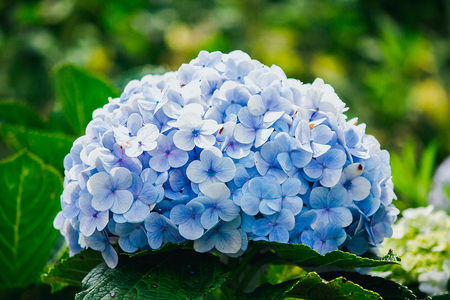 Beautiful blue hydrangeas are blooming in the garden. Stock Photo