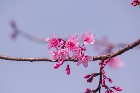 Prunus cerasoides are beautiful pink in nature. In the north of Thailand Flowering during January - February