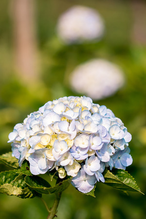 Hydrangea, yellow, mixed with purple, is blooming beautifully in the garden.