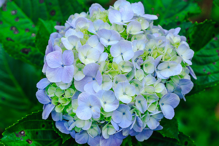 Hydrangea purple in blossoming nature