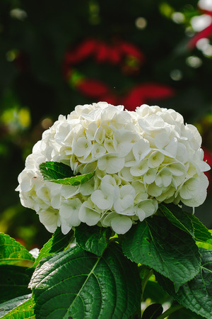 White Hydrangea in the blooming garden Stock Photo