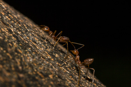 Red ants are on the tree. Stock Photo