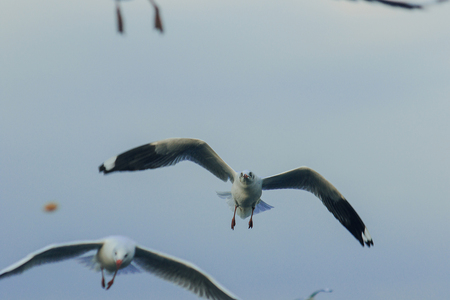 Brown-headed gull is flying on the sky