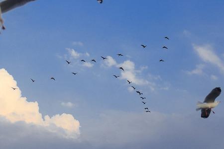Little cormorant flying in the sky