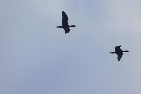 Little cormorant flying in the sky This species of birds often live in flocks.