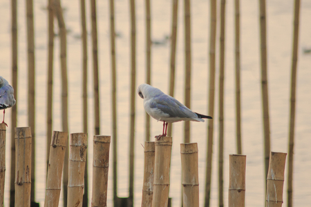 Seagulls on the bamboo in the sea