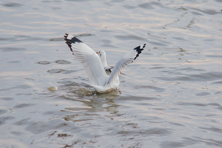 Seagulls are in the water