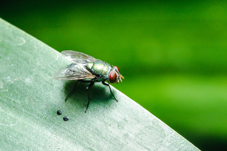 Blow fly on the leaves can be found in communities that have sewage. Stock Photo