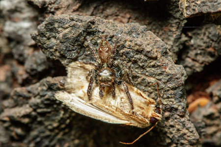 Jumping spiders are eating Is the most populous spider