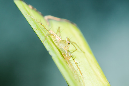 Oxyopes javanus Throll on the leaves can jump to catch prey.