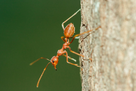 Red ant on the tree, body, mustache and legs are orange.