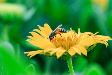 Bees on yellow flowers in nature are blooming.