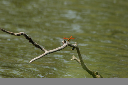 Red dragonflies are on dry branches in the water. Reklamní fotografie