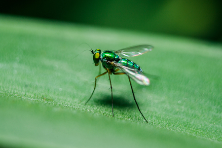 Dolichopodidae on the leaves are small, green body. 免版税图像
