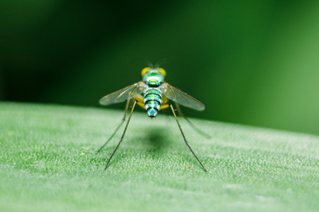 Dolichopodidae on the leaves are small, green body. Reklamní fotografie