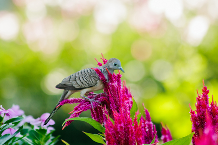 Geopelia striata in the park with Celosia argentea Фото со стока