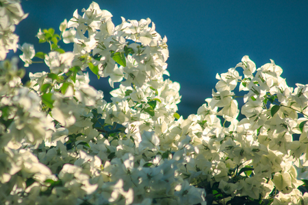 Bougainvillea glabra ChoisyFlowering in white color according to leaves and branches Stock fotó