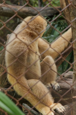 Northern white-cheeked gibbon in a cage.Females have pale yellow hairs throughout the body.