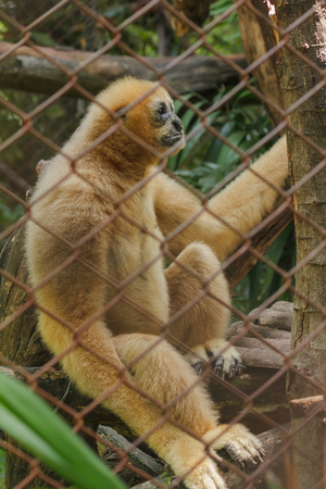 Northern white-cheeked gibbon in a cage.Females have pale yellow hairs throughout the body. Banco de Imagens