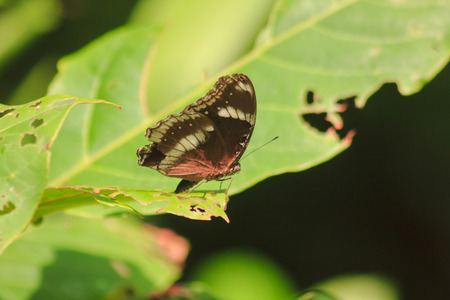 The Great Eggfly is on the leaves, found in the sparse forest. Zdjęcie Seryjne