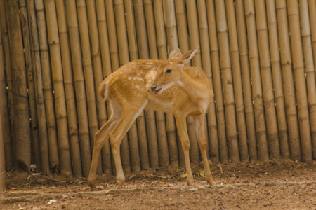 The deer is raised in the zoo. Which the deer is classified as a mammal Has a long, rough brown hair
