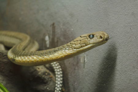 The head of King Cobra is a dangerous poisonous snake. Snake hood is spread through the head and neck.