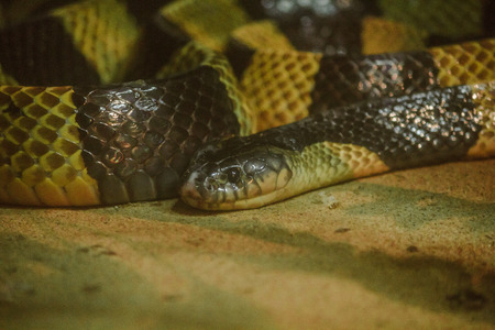 Bungarus fasciatus is a kind of poisonous snake. Found in Southeast Asia To East Asia Imagens
