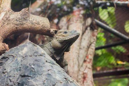 Rhinoceros Iguana is a rare wild animal.Which is featured on the large head that has a horn on the nose like a rhino horn 版權商用圖片