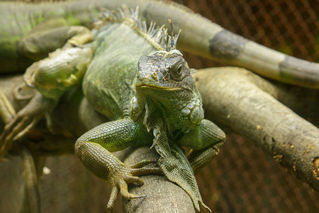 iguana on the branches