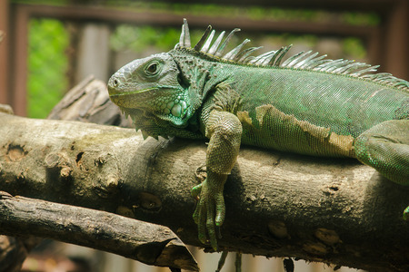 iguana on the branchesiguana is a resident of Central and South America. The green iguana is a large green lizard with a spike-like spine on the middle of the body.