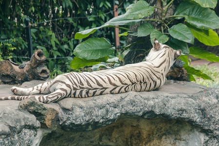 White tiger lying on the rockWhite tiger There is a distinctive feature that the hair color is white.