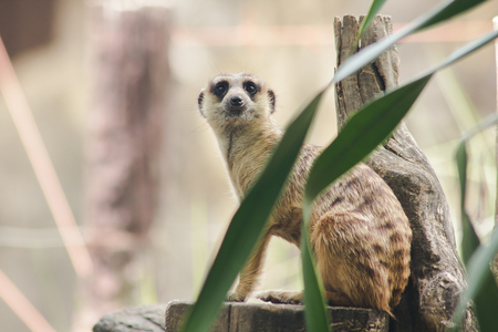 Meerkat has a small body size. Is a mammal Meerkat is a vigilant guard, standing and sitting, watching his eyes, looking for enemies to escape.
