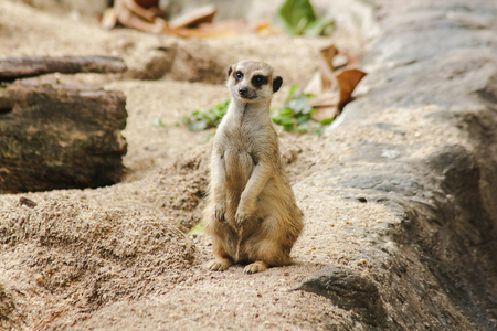 Meerkat has a small body size. Is a mammal