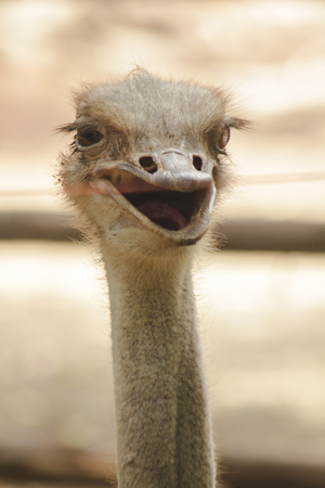 Ostrich's head is on a long neck.