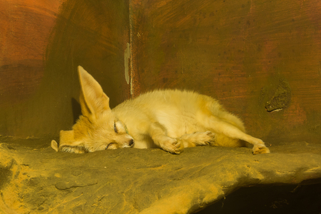 Fennec fox is sleeping