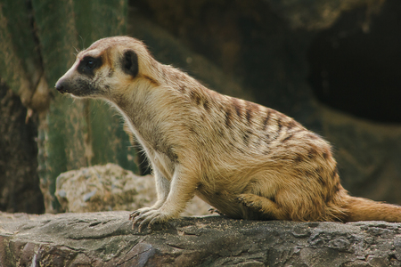 Meerkat has a small body size. Is a mammalMeerkat is a vigilant guard, standing and sitting, watching his eyes, looking for enemies to escape.