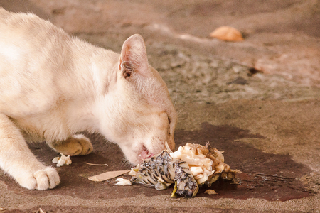 There are white cats eating fish debris on the floor.