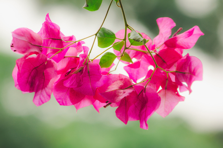 Bougainvillea Classified as a popular ornamental flower According to home or places Because it is a wood that gives many beautiful flowers of color