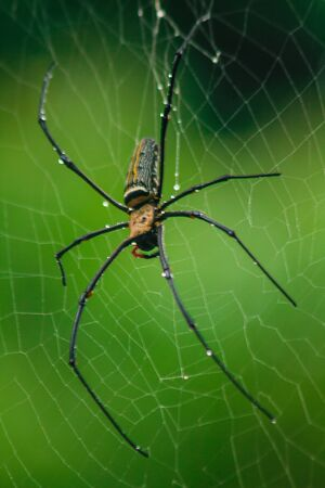 Golden Orb-weaver Spider Knit large fibers along the vertical line between the trees. Female is 40-50 mm in size. Imagens