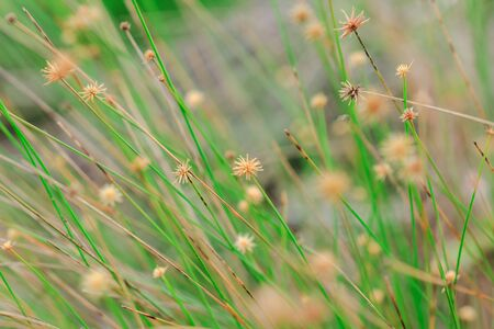 The pollen of the grass begins to dry. For new flowering Reklamní fotografie